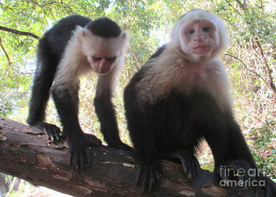 Photograph - Capuchin Monkey 3 by Randall Weidner