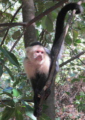 Photograph - Capuchin Monkey 4 by Randall Weidner