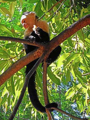 Photograph - Capuchin Monkey 5 by Ron Kandt