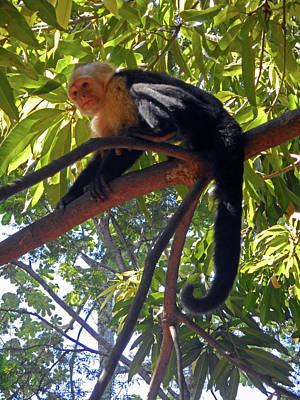 Photograph - Capuchin Monkey 6 by Ron Kandt