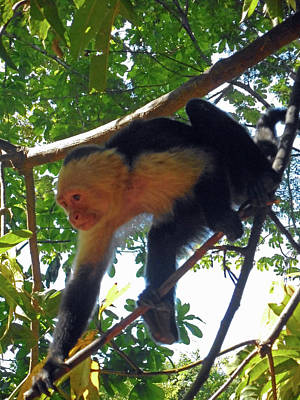 Photograph - Capuchin Monkey 7 by Ron Kandt