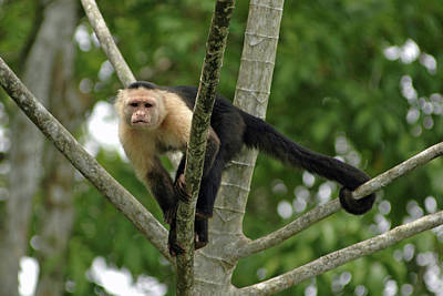 Photograph - Capuchin Monkey No. 1 by Sandy Taylor