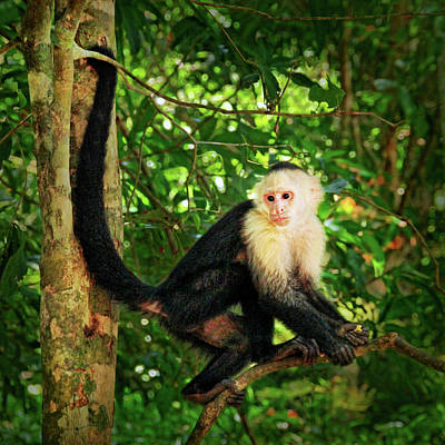 Photograph - Capuchin Monkey Portrait by Carolyn Derstine