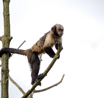 Photograph - Capuchin Monkey by Scott Lyons