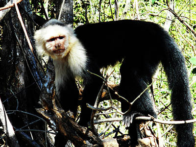 Photograph - Capuchin Monkeys 19 by Ron Kandt