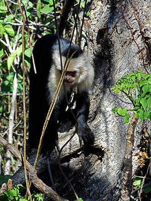 Photograph - Capuchin Monkeys 20 by Ron Kandt