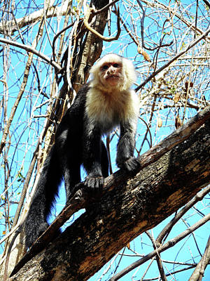 Photograph - Capuchin Monkeys 21 by Ron Kandt
