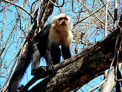 Photograph - Capuchin Monkeys 22 by Ron Kandt