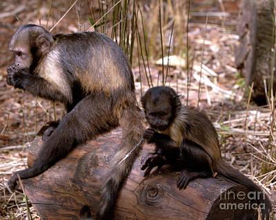 Photograph - Brown Capuchin Monkeys by Baggieoldboy