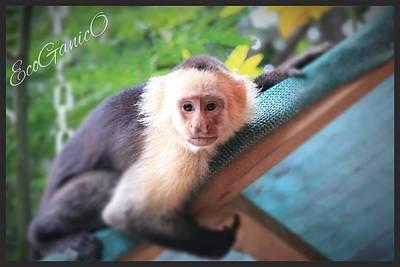 Photograph - Capuchin by Pascal Schreier