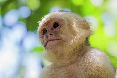Monkey Photograph - Little Capuchin by Robynn Balduf