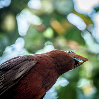 Photograph - Capuchinbird by Daniel Hebard