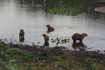 Photograph - Capybara Family by Nareeta Martin