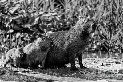 Photograph - Capybara Family by Pravine Chester