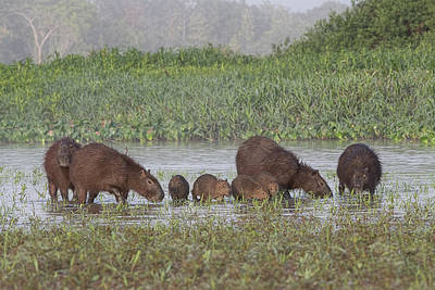 Photograph - Capybara by Wade Aiken