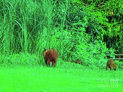 Photograph - Capybaras In The Wild by Camille Pascoe