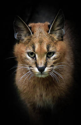 Photograph - Caracal Cat In The Shadows by Athena Mckinzie