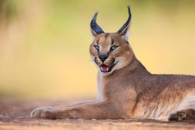 Hunters Photograph - Caracal by Hillebrand Breuker