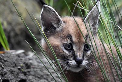 Caracal Kitten Print by Beth Wolff