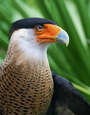 Art Print featuring the photograph Caracara 2 by Arthur Dodd