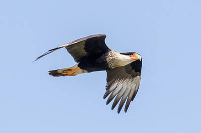 Photograph - Caracara In Flight by Phil Stone