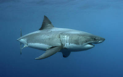White Shark Photograph - Carcharodon Carcharias...aka The Great White Shark by Shane Linke