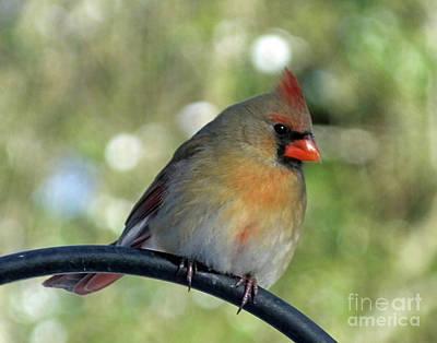 Photograph - Cardinal 67 by Lizi Beard-Ward