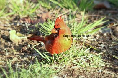 Photograph - Cardinal 0916 by Captain Debbie Ritter