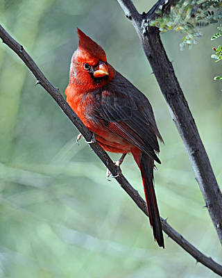 Photograph - Cardinal 1 by Diana Douglass