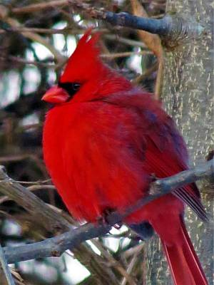 Photograph - Cardinal 10 by Vijay Sharon Govender