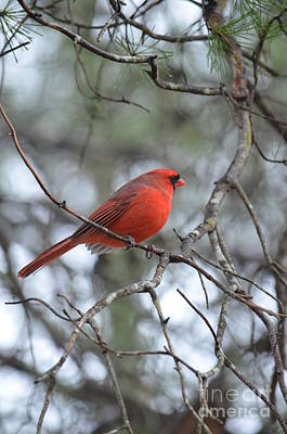 Photograph - Cardinal 18-02 by Maria Urso
