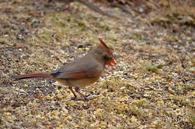 Photograph - Cardinal 18-04 by Maria Urso