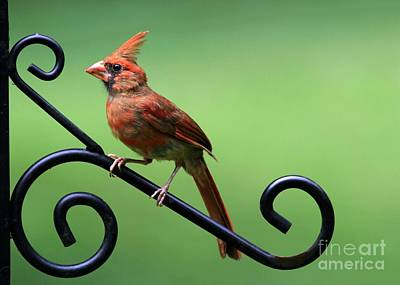 Photograph - Cardinal 2 by Sabrina L Ryan