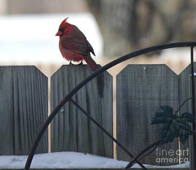 Photograph - Cardinal 2 by Sheri LaBarr