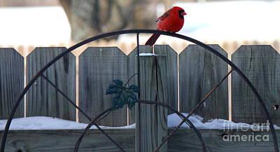 Photograph - Cardinal 3 by Sheri LaBarr