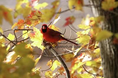 Photograph - Cardinal 5576 by Captain Debbie Ritter