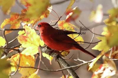 Photograph - Cardinal 5577 by Captain Debbie Ritter
