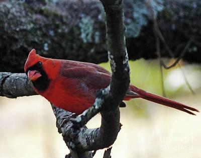 Photograph - Cardinal 56 Tanglewood by Lizi Beard-Ward