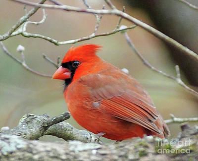 Photograph - Cardinal 57 Tanglewood by Lizi Beard-Ward