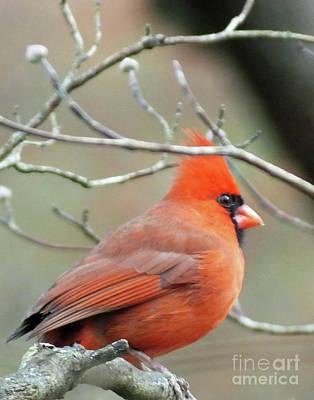 Photograph - Cardinal 58 Tanglewood by Lizi Beard-Ward