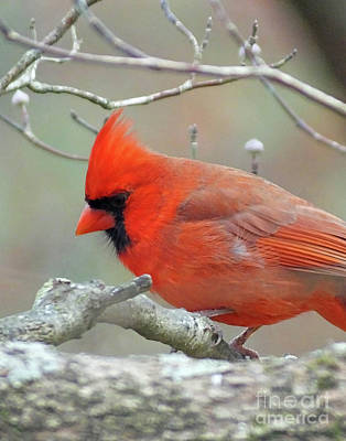 Photograph - Cardinal 59 by Lizi Beard-Ward