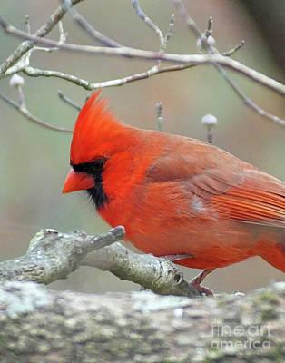 Photograph - Cardinal 59 by Lizi Beard-Ward