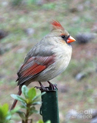 Photograph - Cardinal 63  Tanglewood by Lizi Beard-Ward