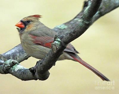 Photograph - Cardinal 64 by Lizi Beard-Ward