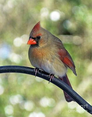 Photograph - Cardinal 66 by Lizi Beard-Ward