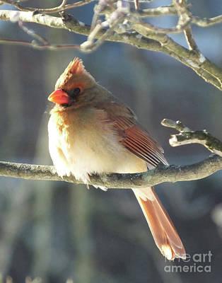Photograph - Cardinal 68 by Lizi Beard-Ward