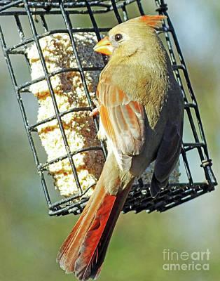 Photograph - Cardinal 69 by Lizi Beard-Ward