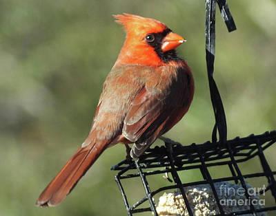 Photograph - Cardinal 70 by Lizi Beard-Ward