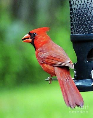 Photograph - Cardinal 71 by Lizi Beard-Ward