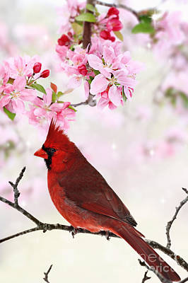 Cardinal Amid Spring Tree Blossoms Art Print
